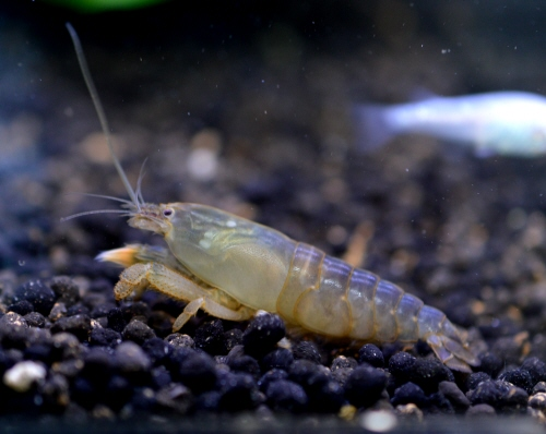 African_Rock_Shrimp_20180416.JPG