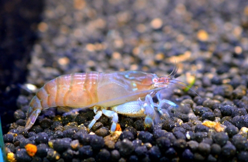 African_Rock_Shrimp_20190211.JPG