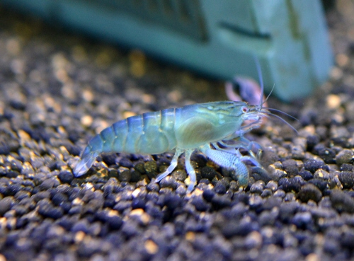 African_Rock_Shrimp_S_20190415.JPG