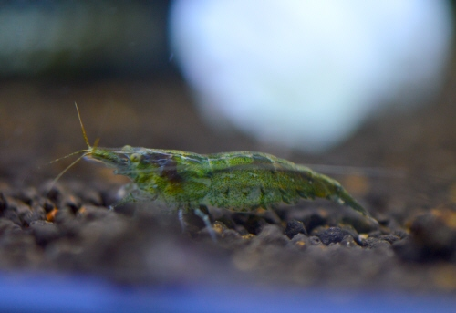 Algae_Lime_Shrimp_20160801.JPG