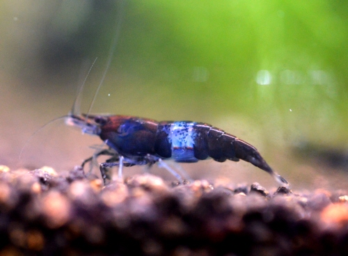 Blue_Velvet_Shrimp_20160530.JPG