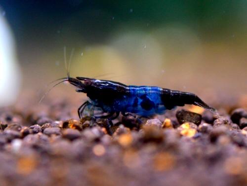 Blue_Velvet_Shrimp_20160815.JPG