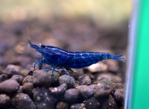 Blue_Velvet_Shrimp_20190422.JPG