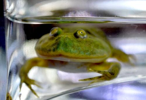 Budgett's_Frog_20160910.JPG