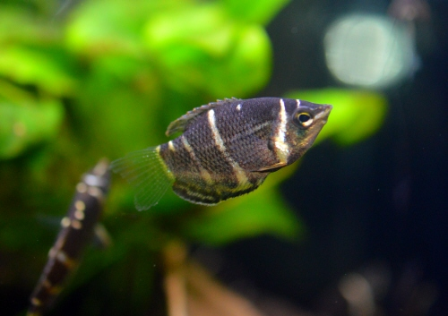 Chocolate_Gourami_20160404.JPG