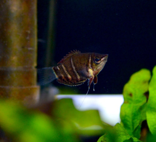 Chocolate_Gourami_20180118.JPG