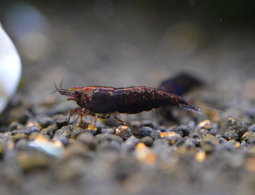 Chocolate_Shrimp_20190401.JPG
