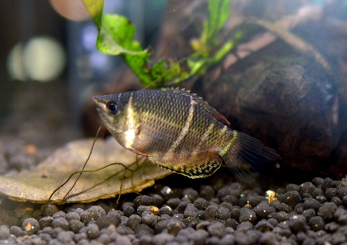 Chocolate_gourami_20170612.JPG