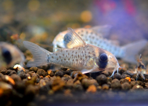 Corydoras_atropersonatus_20170211.JPG