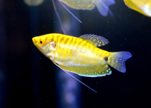 Golden_Gourami_201702.JPG