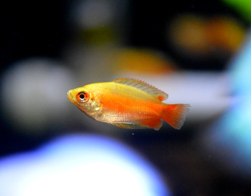 Golden_Honey_Gourami_20170716.JPG