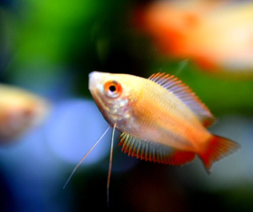 Golden_Honey_Gourami_20180430.JPG