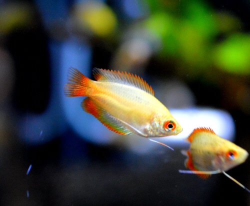 Golden_Honey_Gourami_20180618.JPG