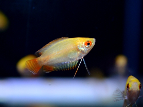 Golden_Honey_Gourami_20181001.JPG