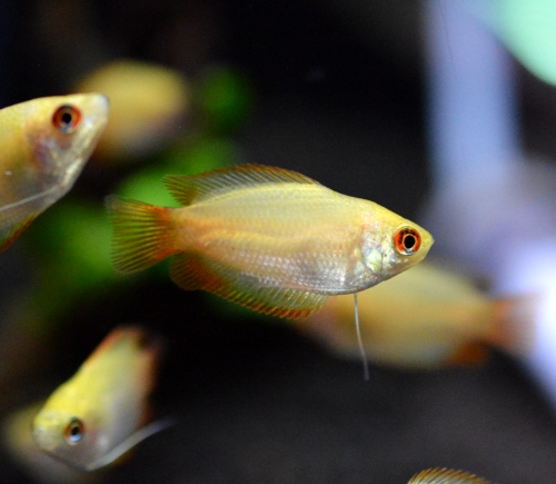Golden_Honey_Gourami_20181126.JPG