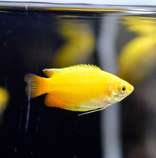 Golden_Honey_Gourami_20190311.JPG