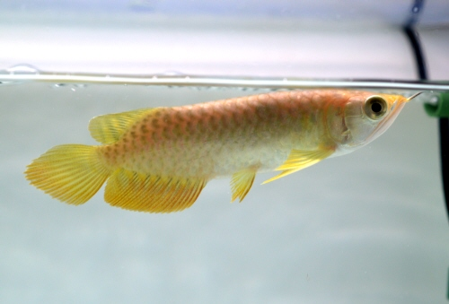 High_Back_Golden_Arowana_20170123.JPG