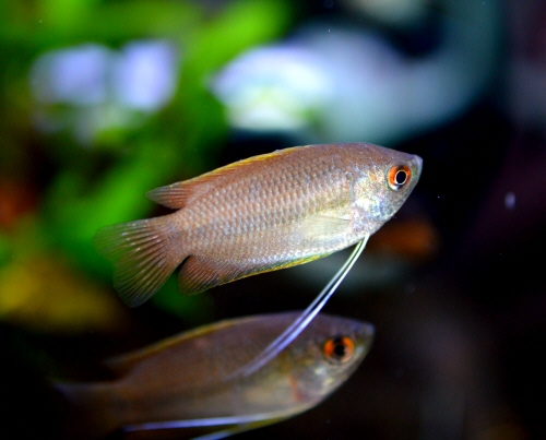 Honey_Dwarf_Gourami_20171127.JPG
