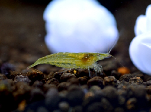 India_Green_Shrimp_20171218.JPG