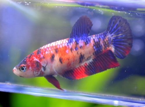 Koi_Betta_Mesu_20160503.JPG