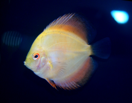 Yellow_Discus_20161205.JPG